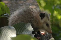 Opossum profile Royalty Free Stock Images