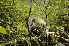 Opossum se cachant dans l'herbe Photo stock