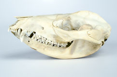 Opossum Skull Taxidermy Stock Photography