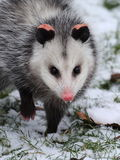 Opossum in snow Stock Image