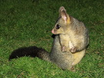 Opossum spaventato immagine stock libera da diritti