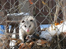 Opossum Staring Contest Stock Images