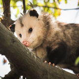 Opossum on a tree branch Stock Images