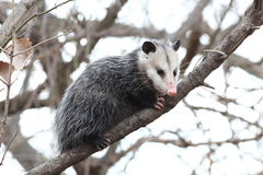 Opossum in a tree Stock Photography