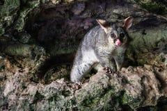 Opossum an Umpherston-Dreckloch, Mt Gambier, Süd-Australien, Australien lizenzfreie stockfotos