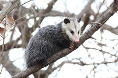 Opossum in un albero Fotografia Stock