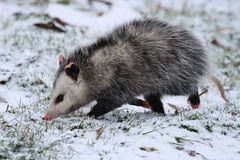 Opossum walking in snow. A Virginia Opossum, North America's only marsupial, walking in shallow snow Stock Photos
