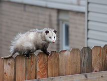 Opossum Walks Across a Fence. With precision balance, a opossum uses it sharp claws and spiny tail to navigate the top of a picket fence royalty free stock images