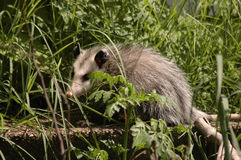 Opossum Royalty Free Stock Photography