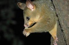 Oposum australiano que come un pedazo de fruta Fotografía de archivo