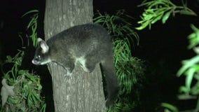 Oposum en un árbol en la noche en Margaret River, Australia occidental metrajes