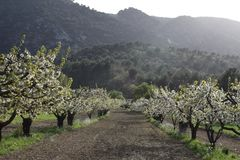 Oppede-le-vieux blooming fruit tree orchard. White cherry blossoms setting sun over rugged Petit Luberon well-tended trees anticipate bountiful harvest stock photography