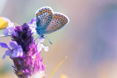 Сopper-butterfly Royalty Free Stock Photo