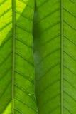 Oppervlakte van groen blad Royalty-vrije Stock Afbeeldingen