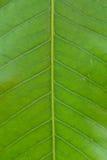 Oppervlakte van groen blad Stock Afbeeldingen