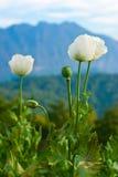 Oppio del fiore Fotografia Stock