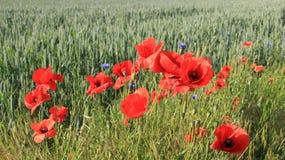 Oppio rosso di fioritura con il giacimento di grano verde Fotografie Stock Libere da Diritti