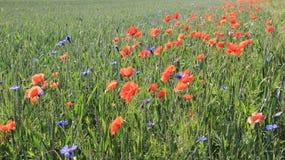 Oppio rosso di fioritura con il giovane giacimento di grano Immagini Stock