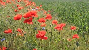 Oppio rosso di fioritura con il giovane giacimento di grano Fotografia Stock Libera da Diritti