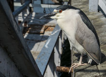 Opportunist. A Black-Crested Night Heron on a pier royalty free stock images