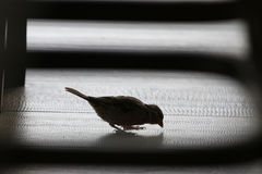 Opportunist Sparrow. A sparrow pecks at crumbs between chair legs on a café floor Royalty Free Stock Photo