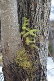 Opportunist Spruce. A young spruce tree grows in an unusual habitat on a willow tree Stock Image