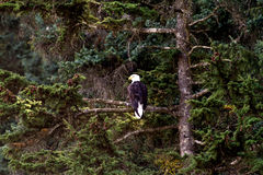 Opportunistic Bald Eagle. A bald eagle perches on a branch and looks out to sea, contemplating when to go a hunt for salmon Stock Image