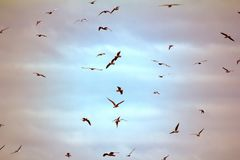 Seagulls flying at sunset. Opportunities and beauty of flight. Many floating and gliding seagulls. Black-headed gull (Larus ridibundus). Sky before sunset Royalty Free Stock Images