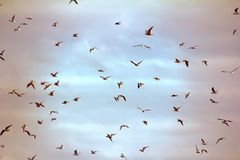 Seagulls flying at sunset. Opportunities and beauty of flight. Many floating and gliding seagulls. Black-headed gull (Larus ridibundus). Sky before sunset Royalty Free Stock Photo