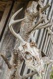 Opposez le crâne de cerfs communs avec des antelers accrochant sur un hangar Photo stock