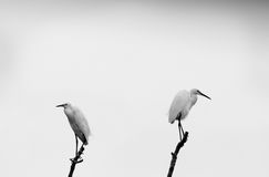 Opposite Egret. A pair of intermediate egret on opposite ends Royalty Free Stock Image