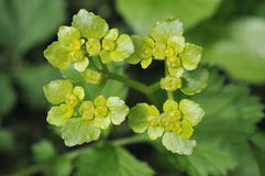 Opposite-leaved Golden-saxifrage Royalty Free Stock Photos
