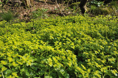 Opposite-leaved Golden Saxifrage Royalty Free Stock Photo