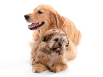 Opposite looking Dogs Stock Photography