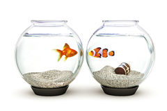 Opposites Attract. Goldfish and clown fish showing curiosity,concept stock image