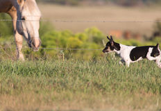 Opposites attract!. Little Rat Terrier dog meets a big Palomino horse royalty free stock image