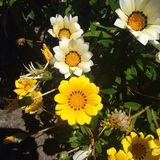 Opposites. Yellow and white daisies contrasting against each other royalty free stock photo