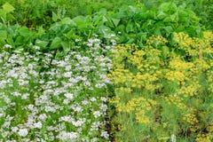 Opposition av gula blommor och vitt grönt för gräs på trädgården fotografering för bildbyråer