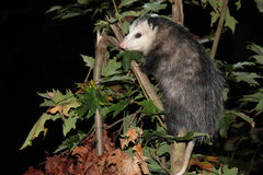 Oppossum dans l'arbre photographie stock
