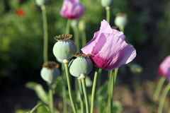 Opqium Poppy Stock Photography