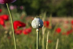 Opqium Poppy Stock Photo