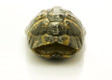 opróżnia domowego żółwia Zdjęcie Stock