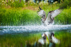 Oprey-Tauchen in einen See mit verbreiteten Flügeln Stockbilder