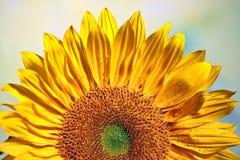 opromieniony słonecznik Obrazy Stock