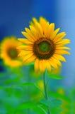 opromieniony słonecznik Zdjęcie Stock