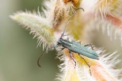 opsilia coerulescens Стоковая Фотография RF