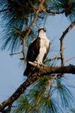 Opsrey nell'albero di pino Fotografia Stock