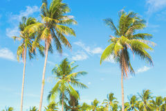 Optimistic palm tree on tropical island. Blue sky background. Summer vacation banner template. Fluffy palm tree with green leaves. Coconut palm under sunlight Royalty Free Stock Images