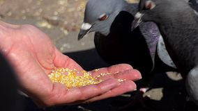 A woman feeds grey doves with grain on a sunny day in slo-mo. An optimistiv view of kind woman feeds grey doves on a sunny square in early autumn in slow motion stock video footage