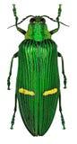 Opulenta exotique de Catoxantha de scarabée de bijou d'Asie tropicale photos libres de droits